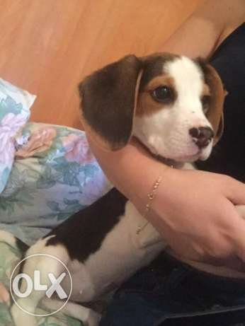Last female Beagle Puppy / Dog