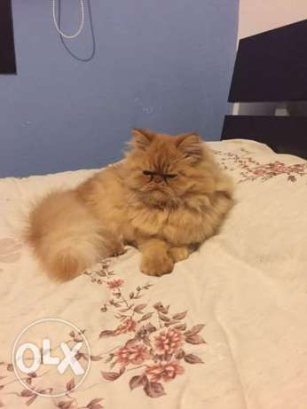 Tiger male pure persian for mating البترون -  1
