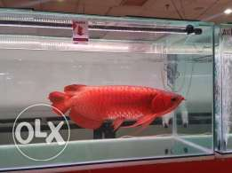 Arowana fishes of all breed available now