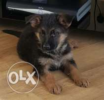 German sheperd puppies for free