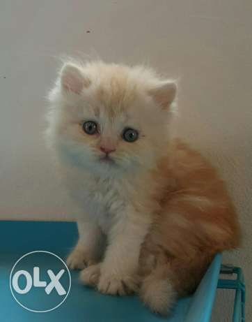 Male persian for sale