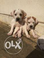 Pure english pointer puppies for sale