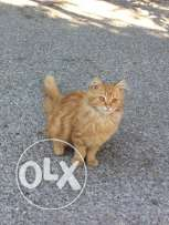 persian male cat badde jawzo men female cat