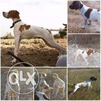 english pointer pure 100%
