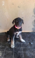 Female puppy 2 month old