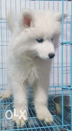 Dog Samoyed