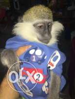 baby monkey for sale