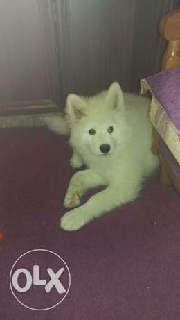 For Sale Samoyed Dog , 4 months old, vaccinated and with passport.Dog