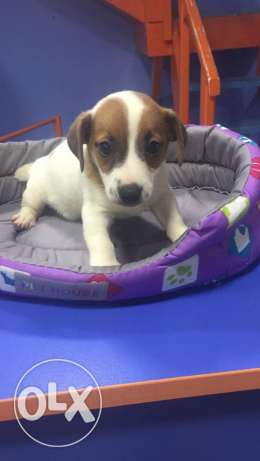 Jack russel puppies small size and docked tail