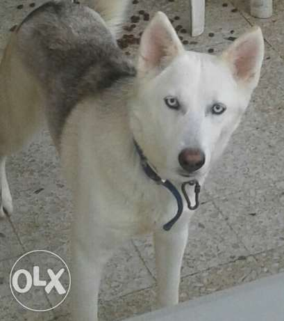 Husky female for sale 2 years old so friendly