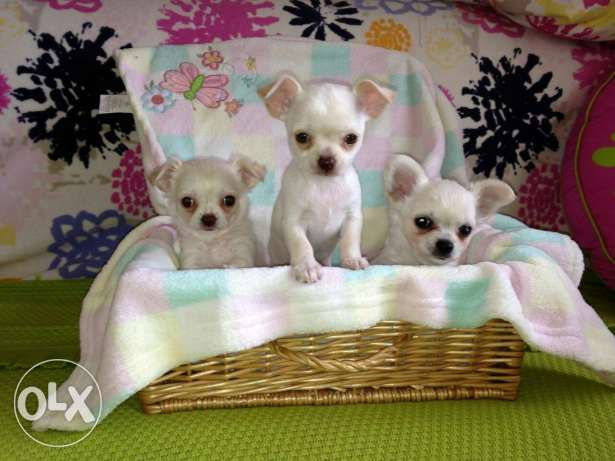 Chiwawa puppies 2month old vaccinated playfull small size dogs 350gram