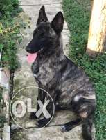 5 months holland malinois puppy vaccinated
