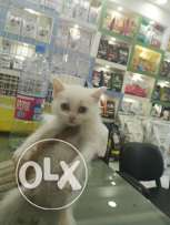 Angora kitten for sale