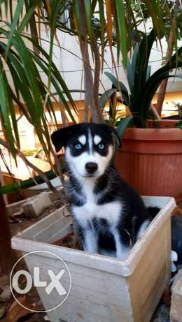 puppies husky 2 month old vaccinated dewormed
