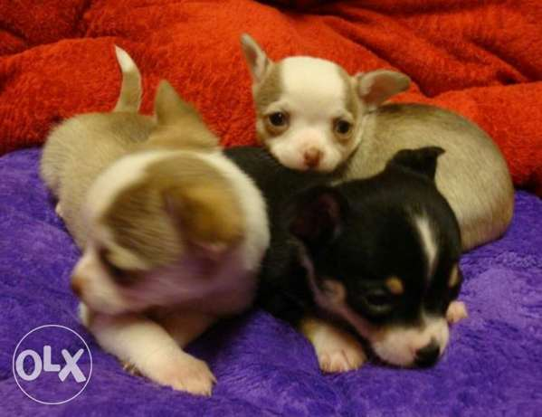 Puppies Chihuahua for sale