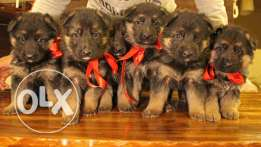 Pure GSD puppies available!!