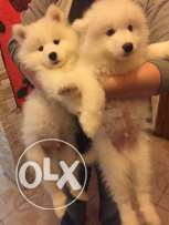 Puppies Samoyed