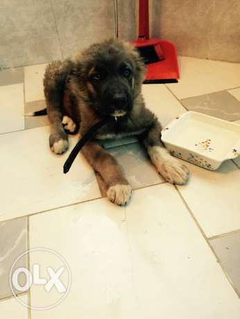 kavkaz dog gaint one hes 6 month old and very big one contact me whats
