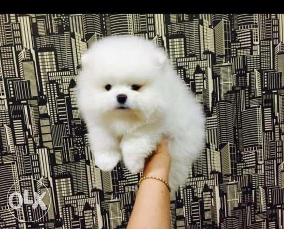 pomeranian puppys are here now