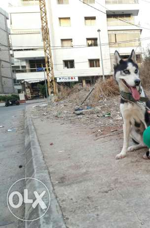 Female husky one year old for sale blue eyes