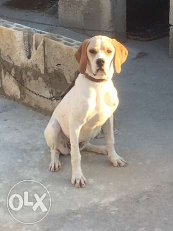 pointer female for sale