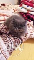 2 months old Persian Cat