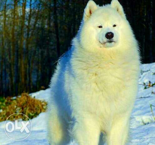 Pure samoyed dog for sale