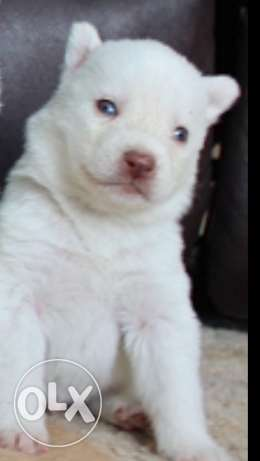 husky siberian 2 month long hair blue eyes