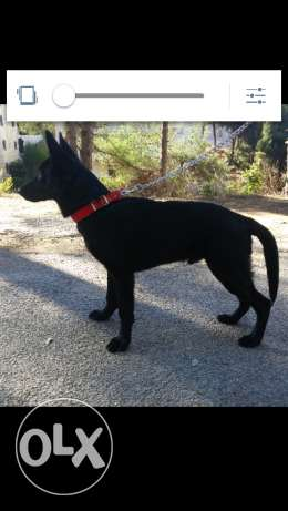 German shepherd black GSD المتن -  2