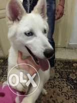 Husky. Female. 2 years old. Very good price