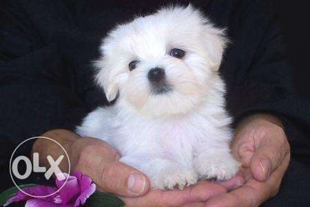 T-Cup Maltese