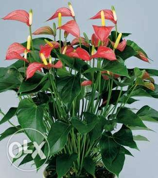 Anthurium for 10$ only