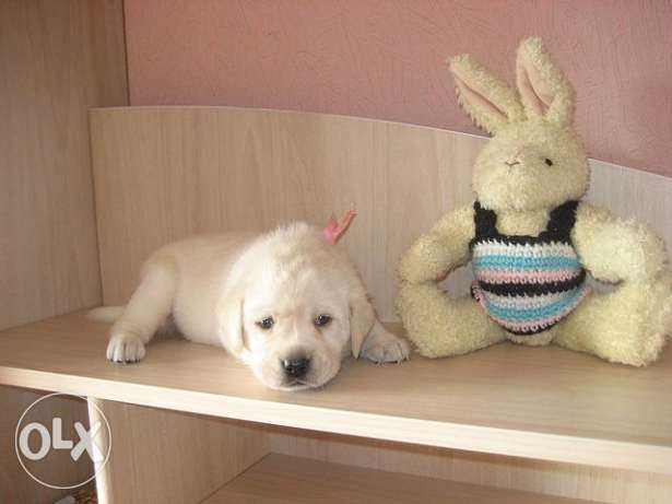 Imported Labrador Puppies available.