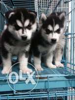 Husky siberian puppies 2 monthes