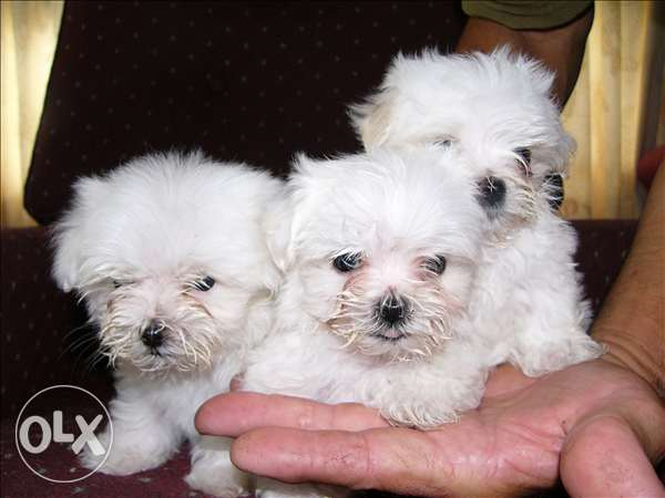 Teacup bichon Maltese small size dogs puppies males and female