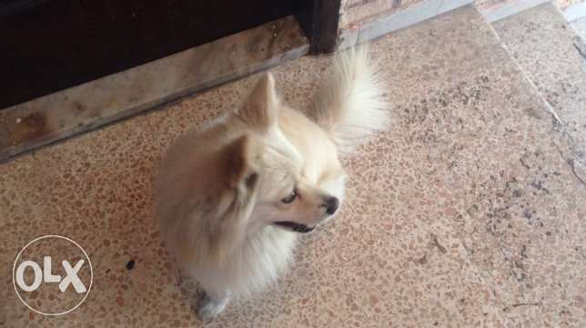 pure breed loulou spitz male for maiting