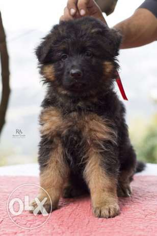 Top longhaired german shepherd for sale from multi-champion كسروان -  2