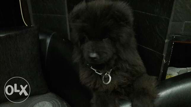 Chow Chow for sale or trade for berger allemand