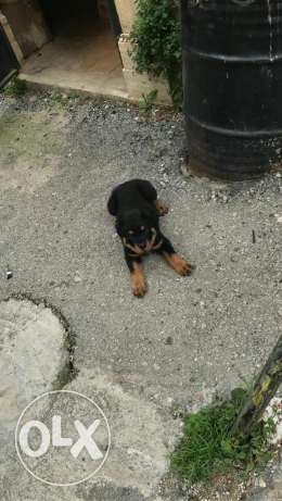 Rottweiler puppy giant size