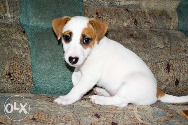 Imported Jack Russell Terrier