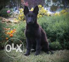 German shepherd full black