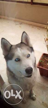 Male Husky for sale