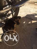 male and females German Shepard 50 days old