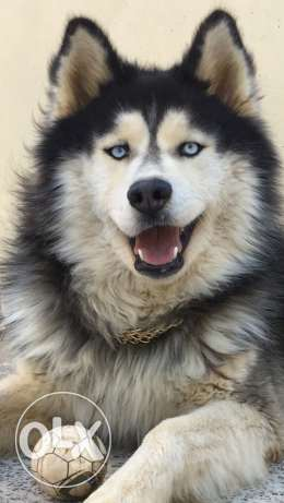 husky for mating looking for a female(مطلوب انثى للزواج)