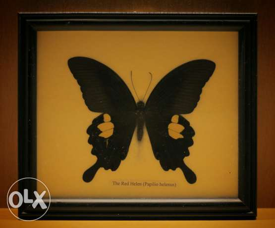 Real framed butterlies
