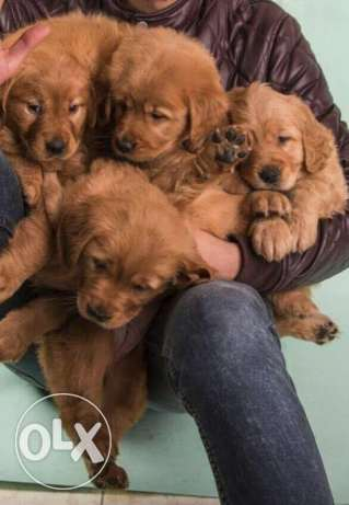 imported Pure Golden Retriever Puppies for Sale Special Color