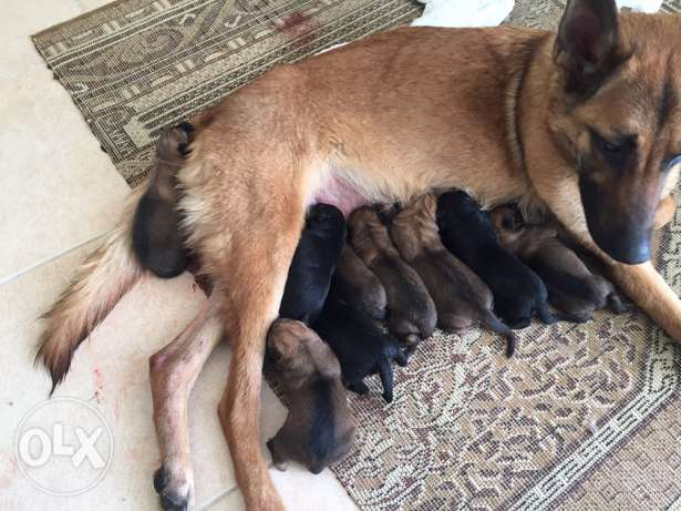 Malinois puppies for sale after 1 month للبيع بعد شهر