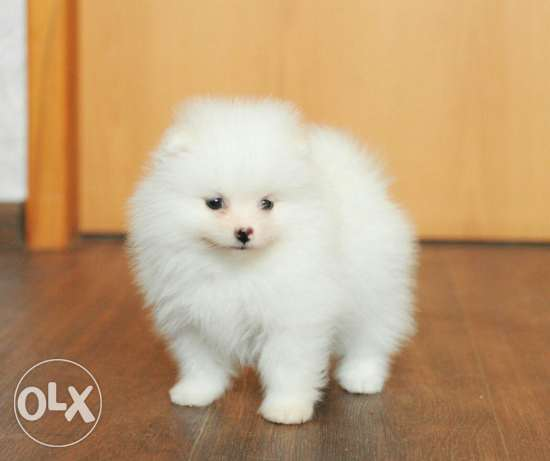 White tea cup pomeranian puppies