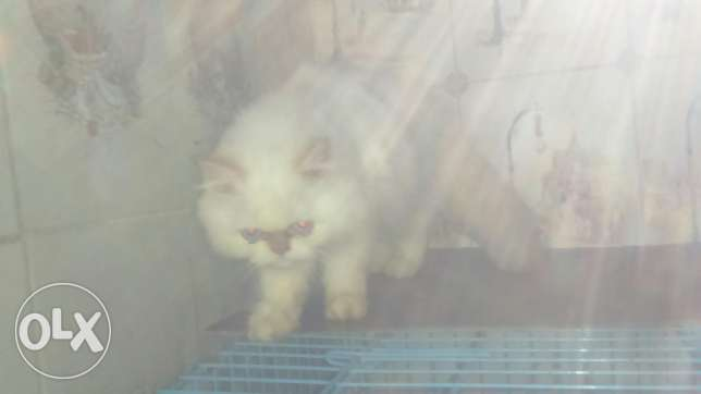 Cats for sale persian pure males and females 3omre 4 5 6 7 months كسروان -  5