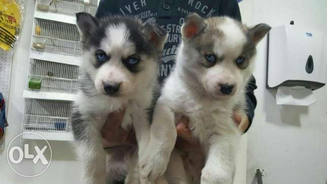 Siberian husky puppies lovely and beautiful